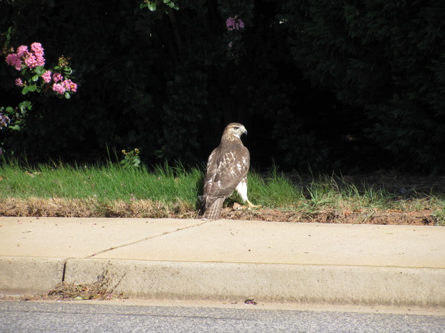 A Hawk standing on the side of the road.