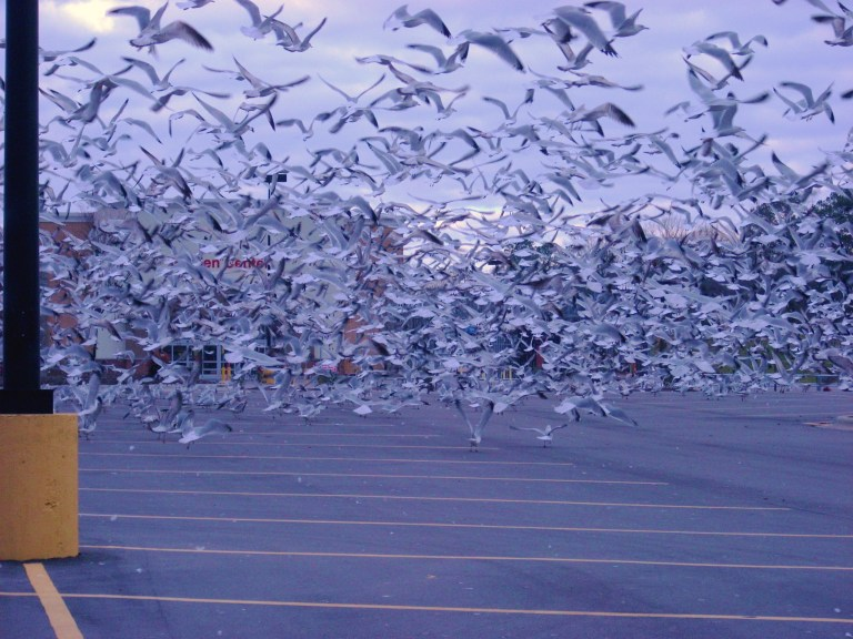 Thousands of Seagulls