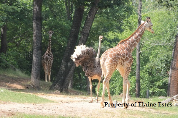 Giraffe veers off away from the ostrich.