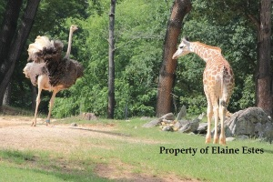 Giraffe seemingly bows to the ostrich.