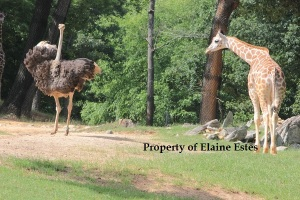 Ostrich proudly struts away.