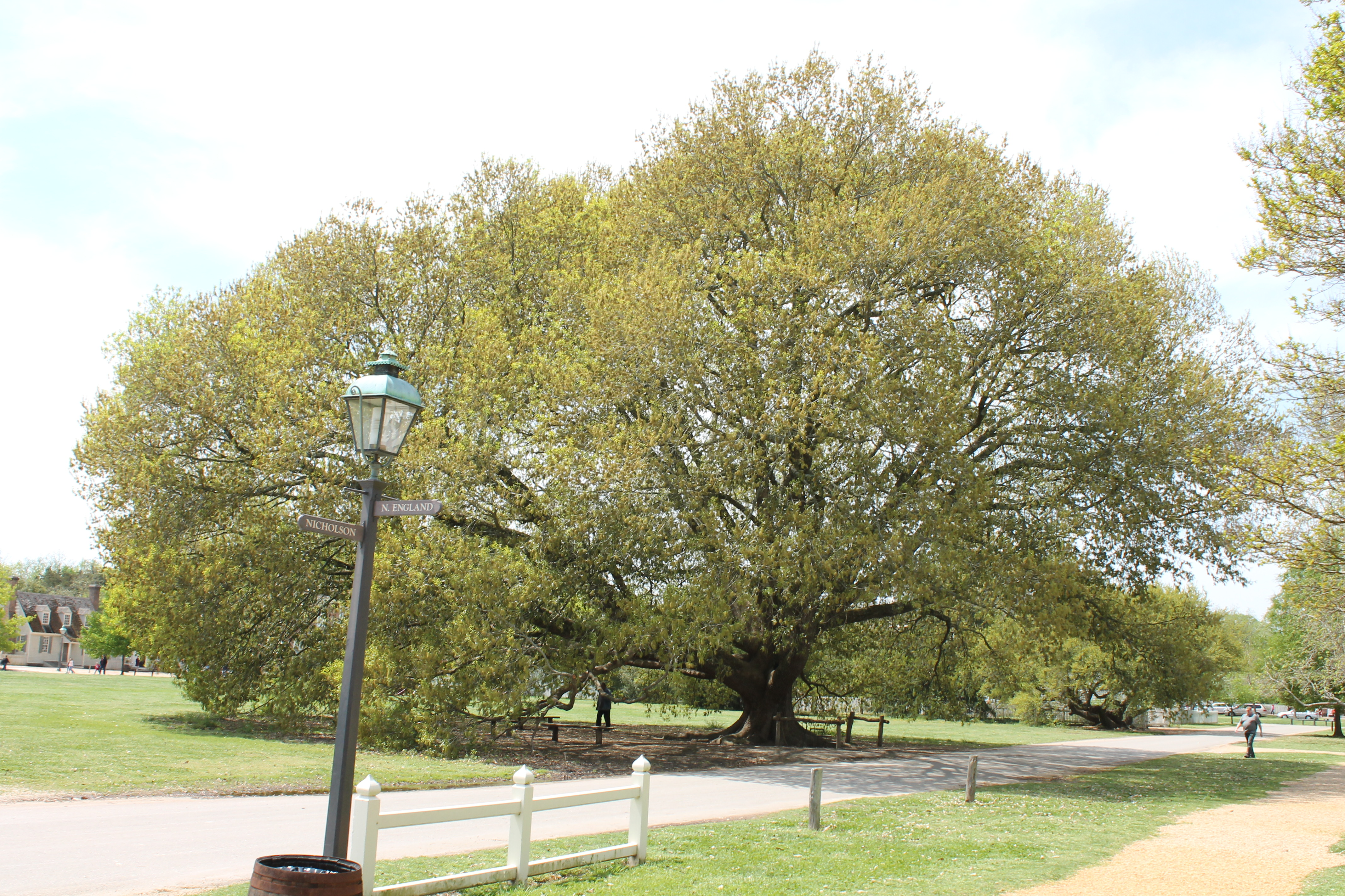 Largest Compton Oak seen at Colonial Williamsburg, VA