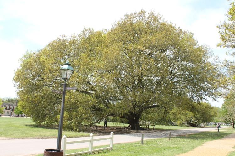 Largest Compton Oak seen at Colonial Williamsburg, VA