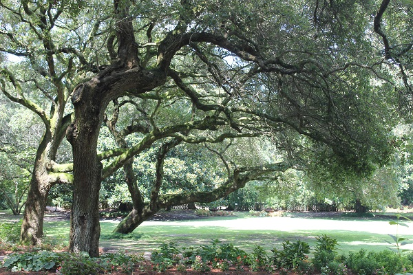 Lovely old shade trees at Roanoke Island. Virginia