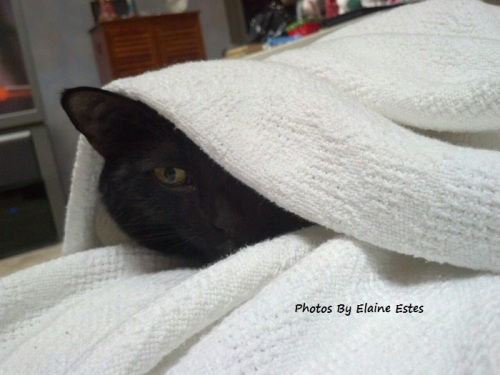 Black cat looking out from white blanket.