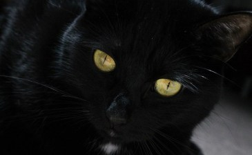 Black Cat with golden eyes.