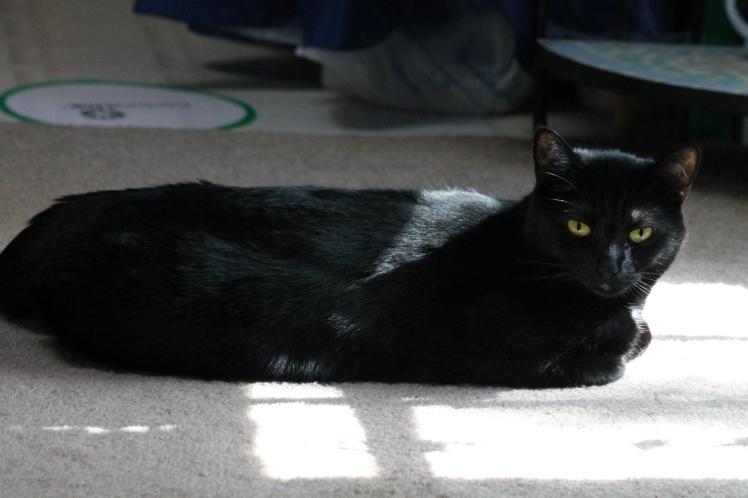 Black cat at rest