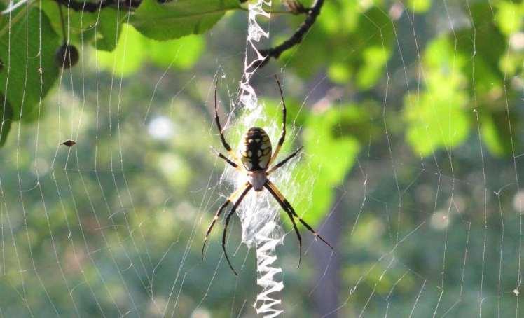 Creepy big spider in web