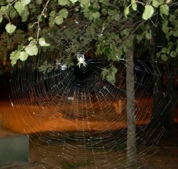 Big spider in big web!