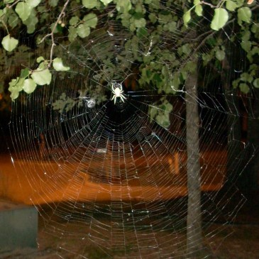 Big spider in big web!