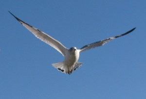 Peaceful seagull