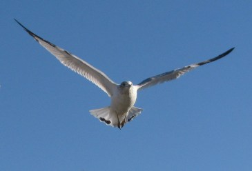 Peaceful seagull