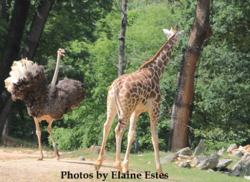 Confrontation of baby giraffe and adult ostrich.
