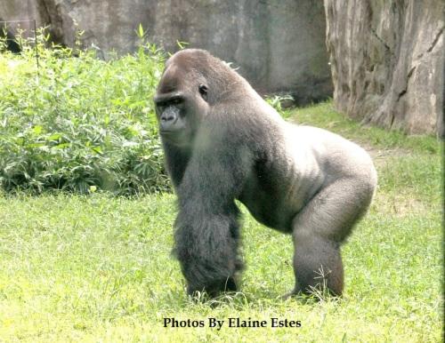 Silver Back Male Gorilla
