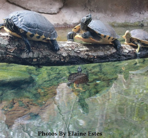 Turtles reflecting on a log.