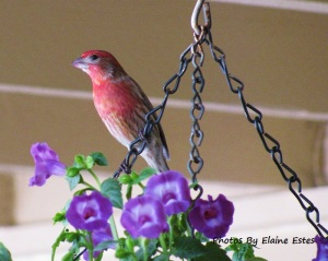 Red house finch on hanging planter