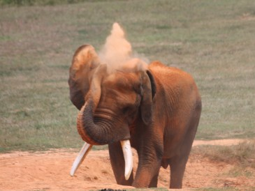 Elephant dustbathing at Asheboro Zoo
