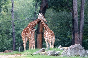 Giraffe family at Asheboro Zoo.