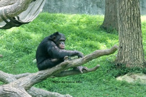 Chimpanzee at Asheboro Zoo
