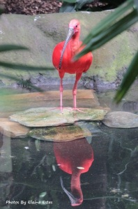 Beautiful Scarlet Ibis at Asheboro Zoo
