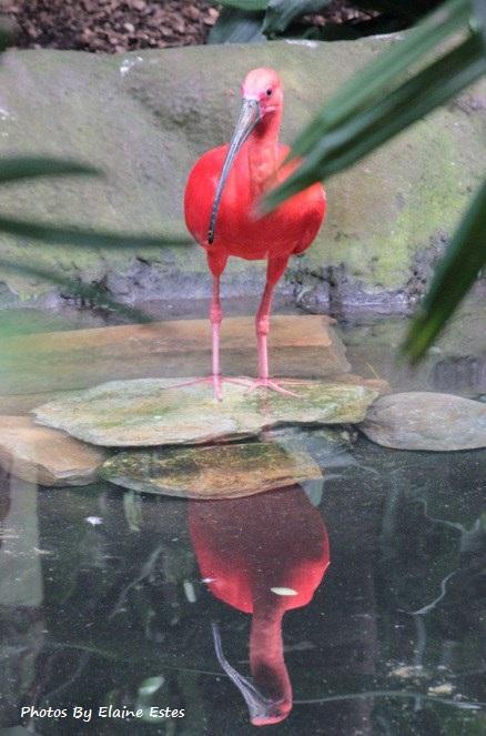 Beautiful Scarlet Ibis at Asheboro Zoo