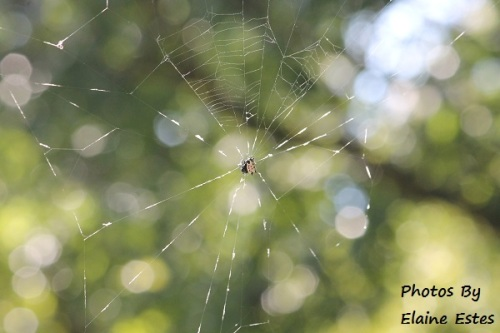 Web of Spiny Orb Weaver
