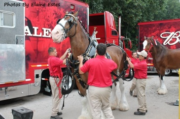 I actually stood near them the Budweiser Clydesdales!!
