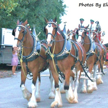 Budweiser Clydesdales in full regalia.