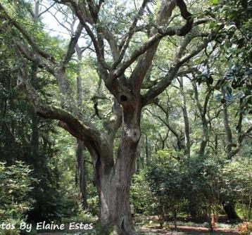 Very old Live Oak at Elizabethan Gardens