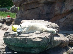 Asheboro Zoo Polar Bear asleep.