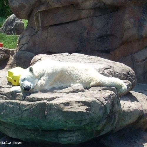 Asheboro Zoo Polar Bear asleep.