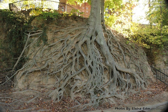 Greenville's Root Tree is said to be a 70 years old Beech tree.