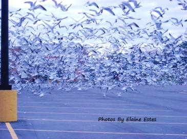 Thousands of seagulls in Holly Springs, NC