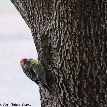 Juvenile Red Headed Woodpecker 101