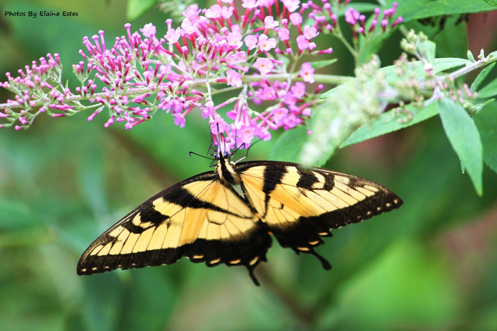 Yellow and black butterfly.