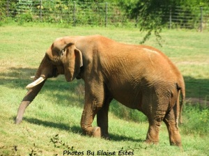 Elephant at Asheboro Zoo