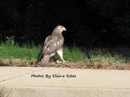 Hawk hunting in grass.