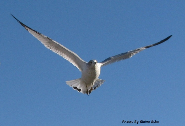 Sea gull wings spread on blue sky.