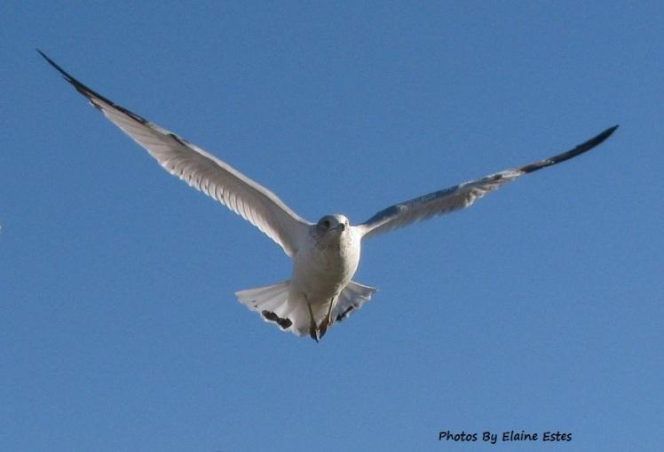 Sea gull wings spread on blue sky.