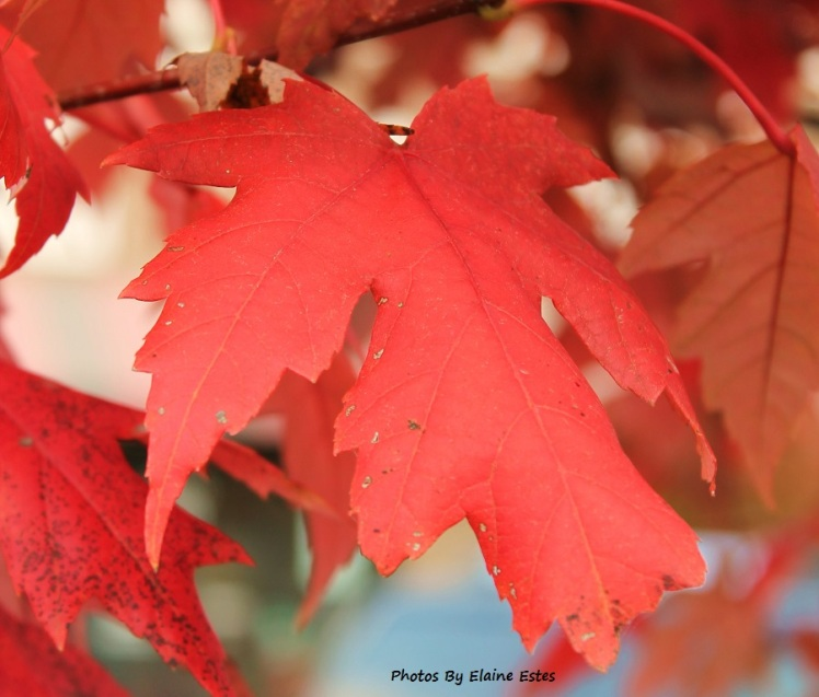 Reds of fall, Maple Leaf