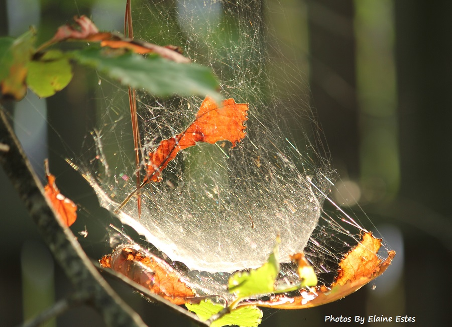 Golden leaves caught in global web.