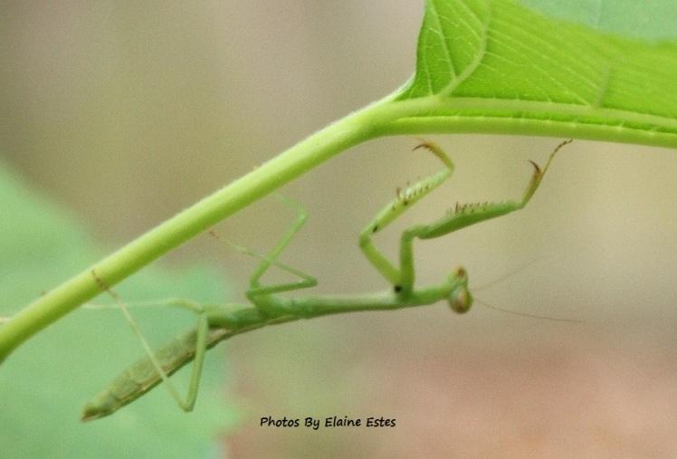 Young green praying mantis.