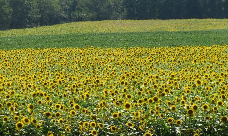Fields of sunflowers.