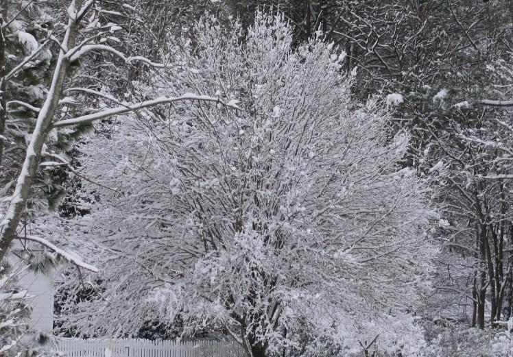 Full limbed tree with snow.