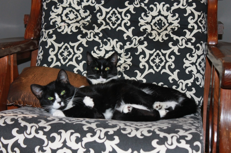 Two Tuxedo cats on printed chair cover.