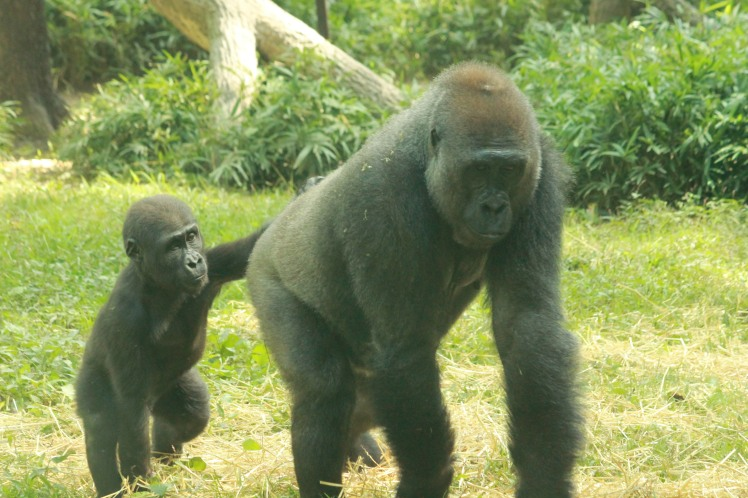 Baby and mother gorilla