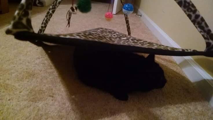 A Cat under a cat toy mat.