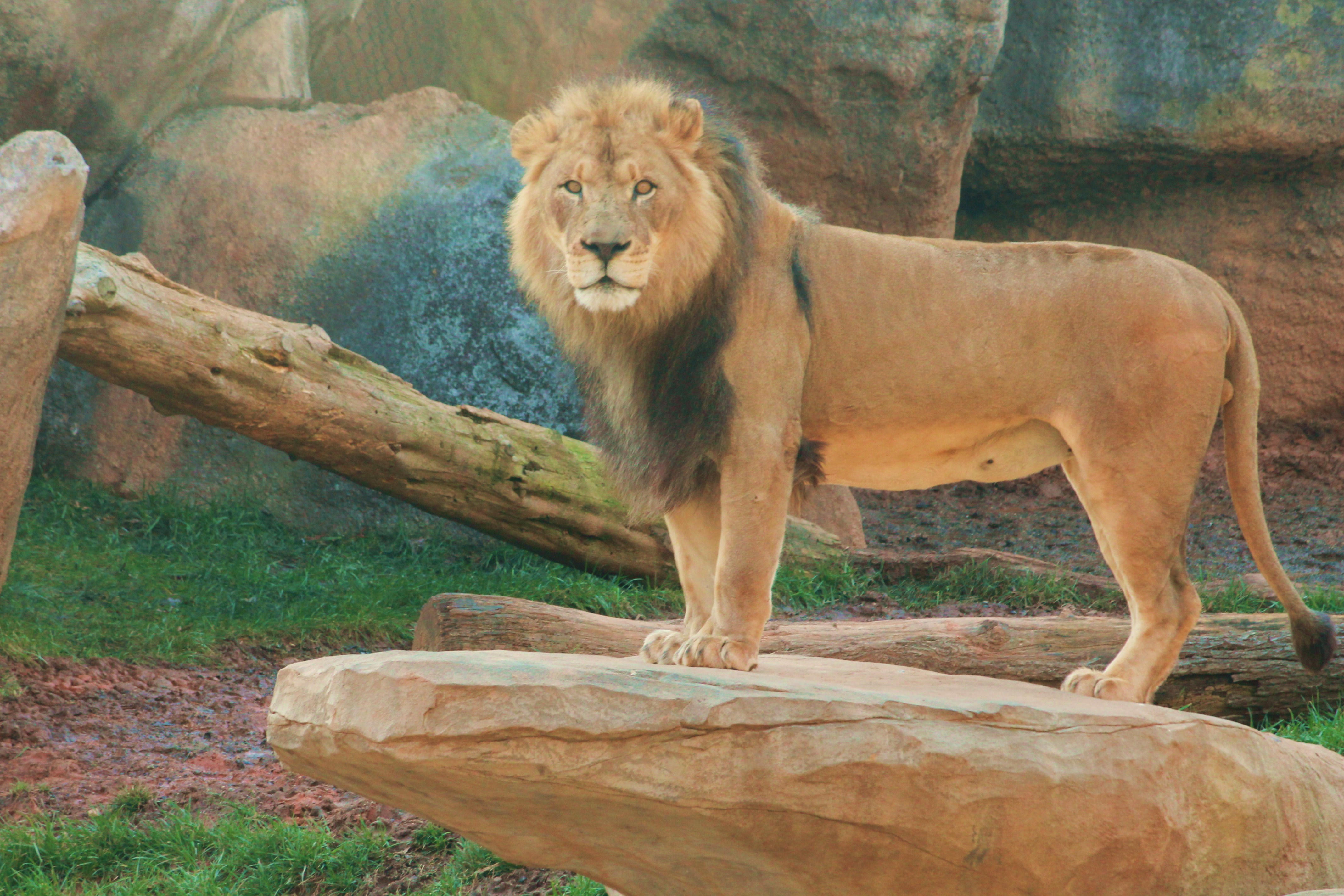 Male lion at Asheboro Zoo