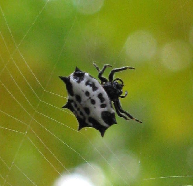 "Gasteracantha, ""Spiny orb weaver"""